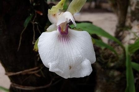 Uma das beldades do orquidário