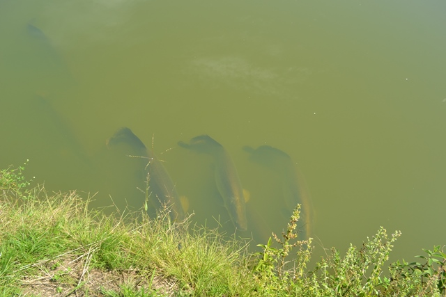São dezenas de pirarucus espalhados nos tanques do terreno
