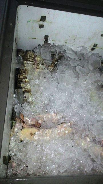 Freezers lotados de carne. Fotos cedidas pelo Batalhão Ambiental