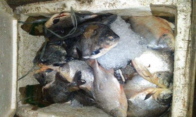 Pirapitinga está entre as espécies com pesca proibida nesta época do ano por uma portaria estadual que protege 22 espécies. Fotos: Cássia Lima