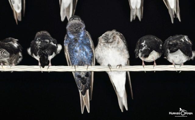 Segundo o especialista, eram duas espécies de andorinha que vinham para Macapá. Fotos dos Pássaros: Kurazo Okada