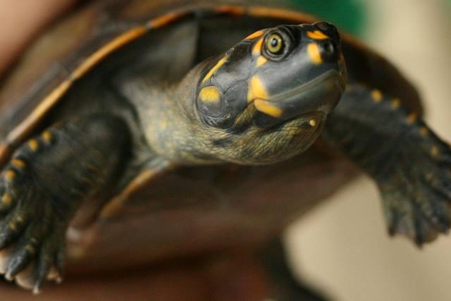 ONG Pegadas de Oiapoque coleta ovos para salvar as tartarugas