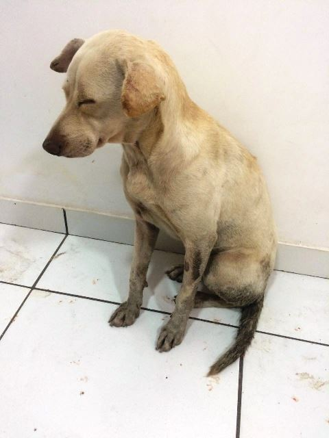 Cadela precisa ser internada para se recuperar. Foto: Upac