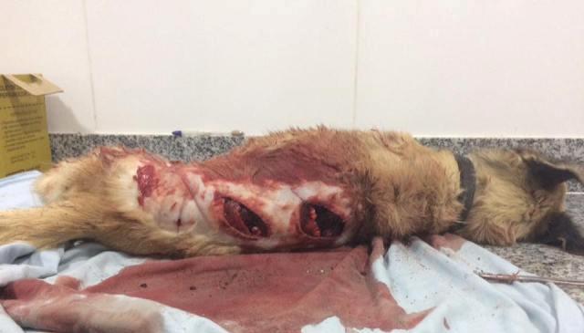 Animal não resistiu aos ferimentos