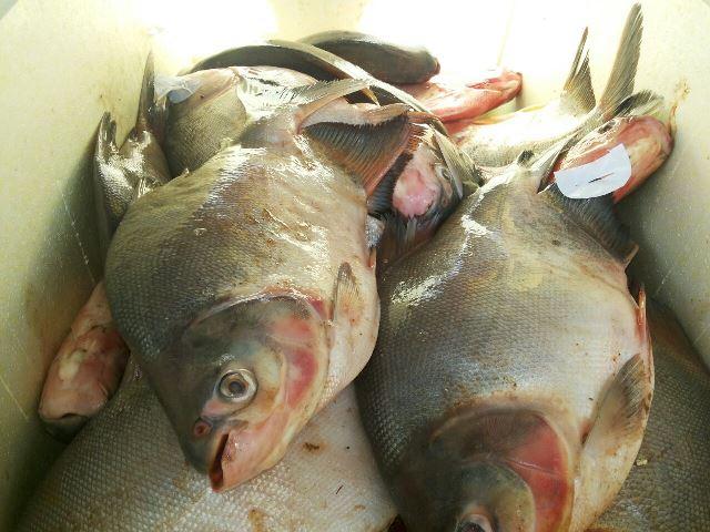 pescado (3)