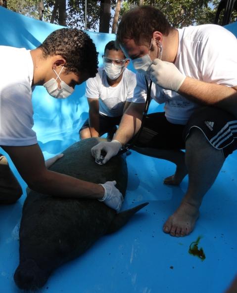 No aterro controlado: Pesquisadores tentam recuperar carcaça de peixe-boi