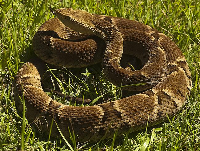 Distribuição reduzida: Soro contra picada de cobra pode faltar no AP