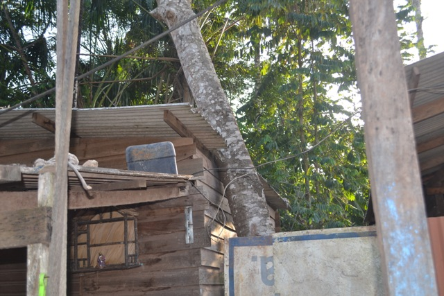 Prestes a cair: Árvores de área de preservação no Marabaixo ameaçam moradores