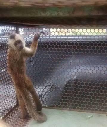 Amapá: Macacos, cobras e corujas lideram apreensões