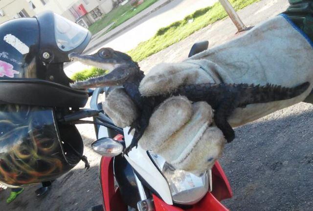 Morador do Macapaba salva filhote de jacaré
