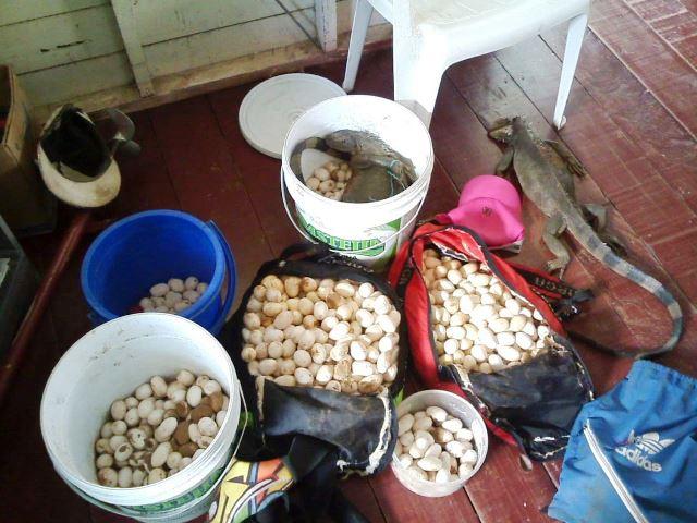 Policiais apreendem 1,2 mil ovos de camaleão