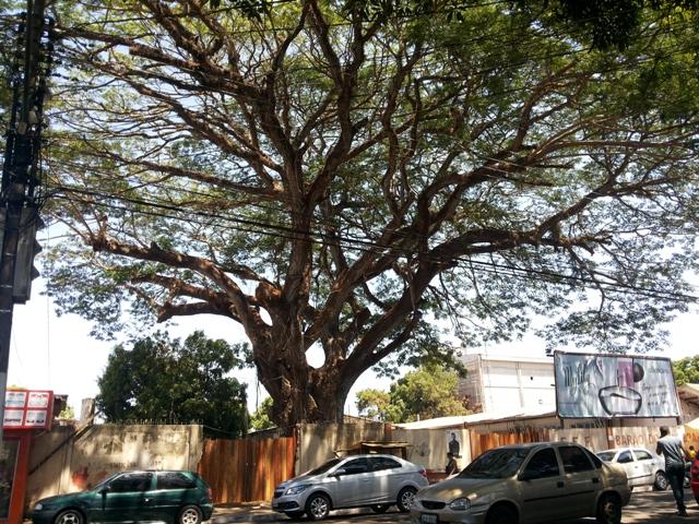 Pedido para derrubar árvore centenária vai parar na justiça