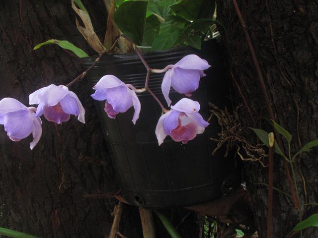 Pesquisador identifica 200 novas espécies de orquídeas no AP