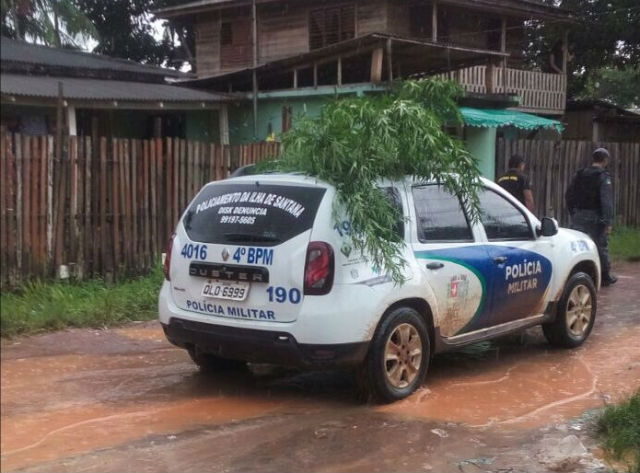 Na busca por ladrão, PM encontra plantação de maconha