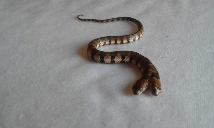 Cobra de 2 cabeças é encontrada no Amapá