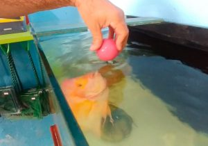 Em Macapá, peixe criado em aquário brinca com pessoas