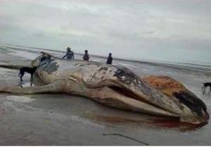 VÍDEO: Encalhe de baleia jubarte é registrado pela 1ª vez na costa do Amapá