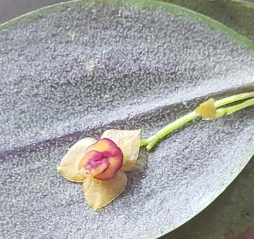 Nova espécie de orquídea é descoberta no Amapá