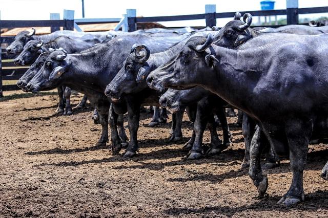2ª ExpoBúfalo terá foco em tecnologia e leilão de animais