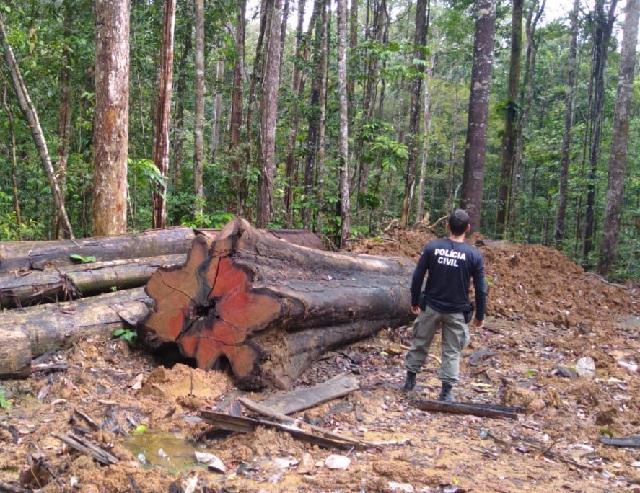 Polícia Civil descobre extração ilegal de madeira na Floresta Estadual do Amapá