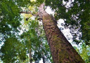 Árvore descoberta entre o Pará e o Amapá tem altura equivalente a prédio de 31 andares