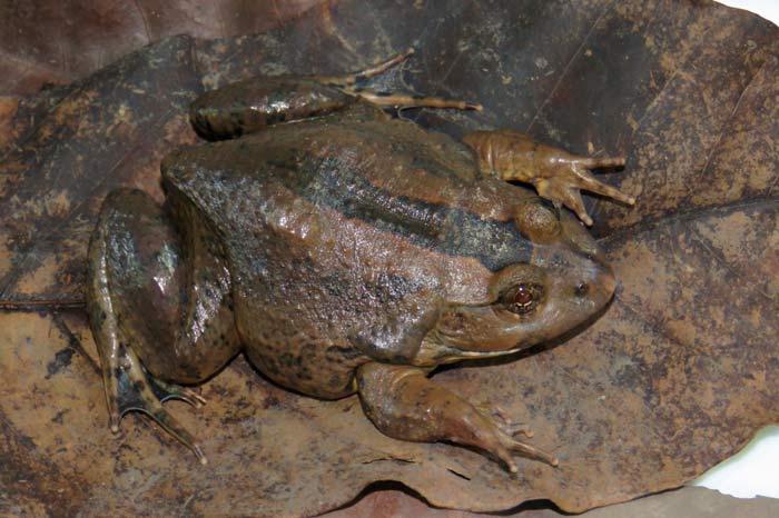 """Desconhecido no Amapá, """"Sapo-Boi"""" é encontrado por pesquisadores"""