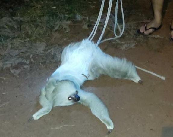 Bicho-preguiça branco encontrado em Macapá é levado para reserva