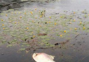 Nova mortandade de peixes atinge Araguari