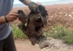 Bichos-preguiça expostos para venda a R$ 20 são resgatados e soltos em Macapá