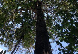 Árvore no Bioparque abriga mais de 300 orquídeas