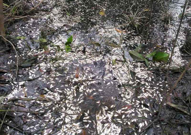 Mortandade de peixes ainda pequenos assola comunidade no Araguari