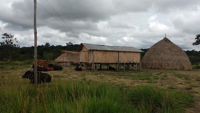 Os índios que foram colocados para criar boi no Tumucumaque