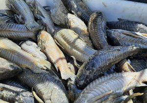 Ibama apreende 5 toneladas de peixe ilegal e doa a pessoas carentes