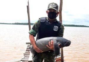 Peixe-boi preso em vegetação é resgatado
