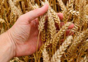 Podcast: O trigo vai para casa, e o joio para o fogo