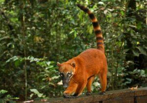 Bosque dos Quatis é nova atração no Bioparque