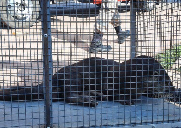 Lontra é encontrada em fossa de residência em Santana