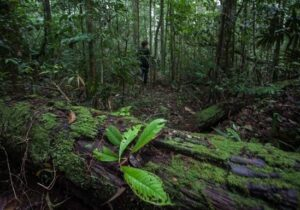 Estado anuncia concessão da Floresta Nacional no Amapá